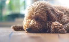 let it lie (Simon[L]) Tags: sleepingdog fluffy poodle brown floor tired canon50mmf18ltm soft toy donotdisturb serenar