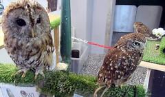 Cuddles,Star and Chester (billnbenj) Tags: barrow cumbria owl tawnyowl littleowl westernscreechowl raptor birdofprey