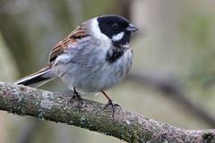 Reed Bunting (sumowesley) Tags: bird fauna nature oldmoor reedbunting