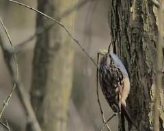 Boomklever (d50harry123) Tags: boomklever bird tree birdphotography d300s nikonnl sigma100400 sigma bekendelle