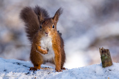 Red Squirrel 02-Feb-19 G_013 (gomo.images) Tags: 2019 animals country fife mortonlochs nature redsquirrel scotland years