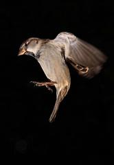 En aproximación (Antonio.Vallano) Tags: gorrion sparrow altavelocidad highspeed flash barrier passerdomesticus barrera ave pajaro alas plumas