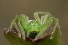 Micrommata ligurina, massif du Pibeste. (G. Pottier) Tags: micrommata micrommataligurina sparassidae araneae southerngreenhuntsmanspider pibeste réservenaturellerégionale rnrpibesteaoulhet bigorre biodiversité araignée spider spinne arthropode prédateur vert green verde afsvrmicronikkor105mmf28gifed d850 valléedesgaves macrophotography pyrénées hautespyrénées occitanie