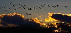 Bosque del Apache National Wildlife Refuge.  New Mexico, USA. (cbrozek21) Tags: sandhilcrane gruscanadensis clouds sunset bosquedelapache sky trees flock flight panorama