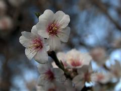 Flor de Almendro 1 (Rabadán Fotho) Tags: flores floración flor almendro almendrosenflor flordealmendro arboles flower flowers almond almondflowers