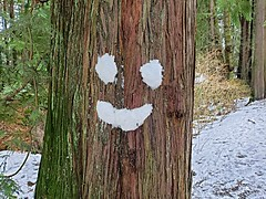 The happy tree (walneylad) Tags: tree bark evergreen happy joy smile snow ice winter february humour humor fun funny princesspark northvancouver britishcolumbia canada smileyface