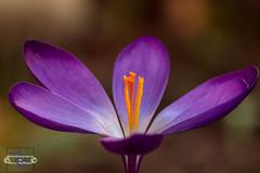 Frühlingsgefühle (Betrachtungsweisen) Tags: makro nature canon frühlingsgefühle eos77d macro natur blumen blüte krokus