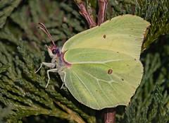 A nice early Brimstone (ukmjk) Tags: brimstone butterfly insect staffordshire stoke nikon nikkor d500 300mm pf tc14e2