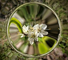 Cluster of blackthorn blossoms in a glass ball (elnina999) Tags: cluster white blossoms sphere glassball art bubble globe circle design background flowers nature orb pixelphonephotography mobilephotography concept abstract isolated