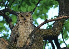 Great Horned Owl...#1 (Guy Lichter Photography - 4.7M views Thank you) Tags: canon 5d3 canada manitoba winnipeg wildlife animal animals birds owl owls greathornedowl explore