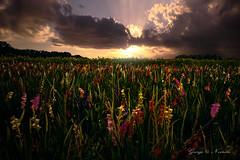 Flower_Meadow (George Nevrela) Tags: flowers meadow blumen blumenwiese gladiolus blumenplantage blumenfeld gladiolen sunset sonnenuntergang abendsonne eveningsun stuhr georgenevrela fineart digitalarts bremen chrysanthemen sonnenblume wolken clouds