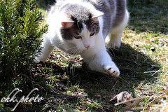 I get you... (chk.photo) Tags: salzburg austria animal nature cat naturemasterclass tier ngc mouse natur katze naturewatcher