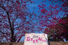 D68_3996 (brook1979) Tags: 台灣 台中 泰安 警察局 櫻花 春天 花季 粉 紫 taiwan taichung flower sakura 八重櫻