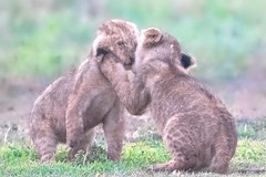 Cubs Kissing (Kitty Kono) Tags: lioncubs ngorongorocrater africa