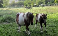 Citation (Sur mon chemin, j'ai rencontré...) Tags: nature poneys animaux herbe prés chevaux flickrunitedaward