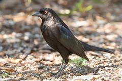 Bronzed Cowbird (male) (Jeremy Meyer) Tags: bronzedcowbird bronzed cowbird blackbird bird florida