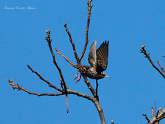 Storno - Sturnus vulgaris (francescociccotti1) Tags: storno uccelli parco passeggiate natura