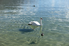 Swan @ Lake Annecy @ Plage d'Albigny @ Annecy-le-Vieux (*_*) Tags: 2019 hiver winter march europe france hautesavoie 74 annecy savoie plagedalbigny lakeannecy lacdannecy animal bird swan cygne lac lake sunny
