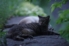 Brown Tabby Cat (Flexible Negativity) Tags: kitten kitty k70 cat caturday nuko pentax browntabby 猫 貓 meow ねこ