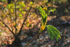 Goodbye Winter Week - Day 4 of 7 (Thursday) (her035) Tags: sträucher triebe spring bushes forest wald goldenhour goldenestunde flora nahaufnahme macro makro goodbyewinterweek frühling nature