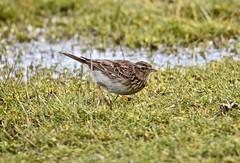 Skylark study. (pstone646) Tags: bird skylark nature wildlife animal closeup elmley kent fauna dof feathers water