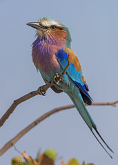 "Lilac Breasted Roller (Sacco Luca ""DUELL"") Tags:"