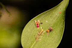 _MG_1999 (luis perez) Tags: mecana orquideas orchids insitu expediciones pacifico colombia