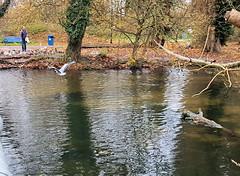 2017-11-20 | 02 | heron (Mark & Naomi Iliff) Tags: river thames caversham heron