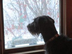 Cooper looking out at the birds (Pictures by Ann) Tags: cooper canine window looking winter birds birdwatching