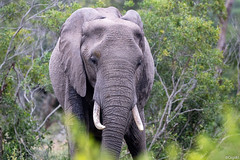 Eléphant d' Afrique (gilbert.calatayud) Tags: animal mammifères mammal mamiféro elephant d afrique loxodonta proboscidiens eléphantidés elefante parc kruger du sud savanes
