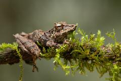 Pinocchio Tree Frog On Branch (worm600) Tags: ecuador animal tandayapa frog pinocchiotreefrog treefrog