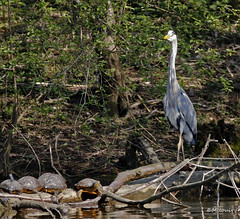 Le Héron et les Tortues ! (Milucide) Tags: oiseau héron paysbas maastricht étangs eijsdensmargraaten