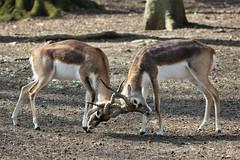 1918 LES AMOURS DU PRINTEMPS (rustinejean) Tags: rustine animal nature antilope amours male