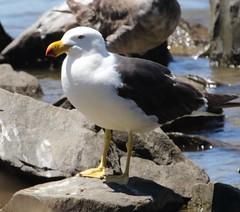 Pacific Gull (Larus pacificus) (iainrmacaulay) Tags: bird australia pacific gull larus pacificus