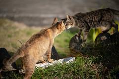 猫 (fumi*23) Tags: ilce7rm3 sony sel85f18 katze neko cat chat a7r3 animal 85mm fe85mmf18 gato kitten bokeh dof emount ねこ 猫 ソニー