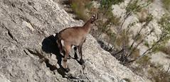 Bouquetin des Alpes (fauneetnature) Tags: bouquetin ibex animalier animal animauxmontagne mountainanimals photonature photoanimalière nature naturephotography animalsphotography maurienne montagne mountain savoie alpes alps mammifère
