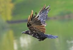 Mr Crow in flight over Lake Creteil . . . (Clement Tang **busy**) Tags: travel concordians closetonature closeup macrophotography autumnmorning paris lacdecreteil birdwatcher birdinflight crow nature nationalgeographic greenbackground france narrowdepthoffield dof grandemaregroup raven
