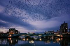 albert bridge bird murmuration (teedee.) Tags: albert bridge bird murmuration hundreds starlings starling murmurations bus water lagan reflections green