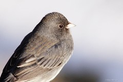 Dark-eyed Junco Portrait (Anne Ahearne) Tags: wild bird animal nature wildlife junco cute songbird birdwatching portrait closeup darkeyedjunco