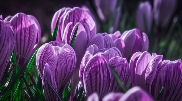 Обои фиолетовый, макро, бутоны, крокус, шафран картинки на рабочий стол, раздел цветы - скачать