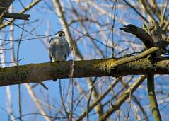 Peregrine (Falco peregrinus) (Mibby23) Tags: peregrine falcon falco peregrinus bird raptor wildlife nature wilstone reservoir canon 5dmk4 sigma 150600mm contemporary