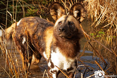 African Painted Dog 3 (Mike House Photography) Tags: african painted dog africa hunting wild wolf cape canid subsahara sahara subsaharan endangered species conservation zoo park chester cheshire safari animal animals mammals mammal black orange white ears snout whiskers water waterside edge