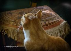 Looking Up (Photographybyjw) Tags: looking up prissy contemplated jump window shelf watch for birds north carolina ©photographybyjw light sun cat mammal animal feline rural country