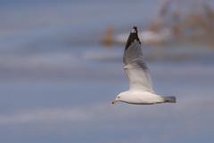 Ring-billed Gull (Lynn Tweedie) Tags: smithvillelake ice eos 7dmarkii feathers ringbilledgull water sigma150600mmf563dgoshsm wing beak bird canon missouri ngc animal