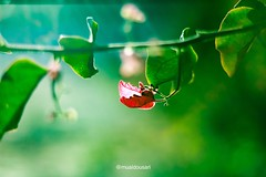 The Butterfly Rose (mualdousari) Tags: saudi riyadh arabia