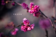 D68_4006 (brook1979) Tags: 台灣 台中 泰安 警察局 櫻花 春天 花季 粉 紫 taiwan taichung flower sakura 八重櫻