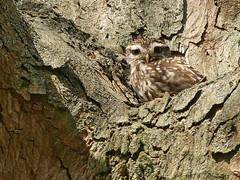 Little owl (Charos Pix) Tags: littleowl athenenoctua