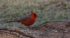 _DSC0089 (johnjmurphyiii) Tags: 06416 birds connecticut cromwell originalnef shelly tamron18400 usa wildlife winter yard johnjmurphyiii