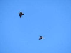 Bald Eagles (D. S. Hałas) Tags: halas hałas canada ontario wentworthcounty hamilton chordata sarcopterygii aves accipitriformes accipitridae haliaeetusleucocephalus baldeagle eagle bird