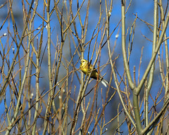 Yellowhammer! (RiverCrouchWalker) Tags: yellowhammer emberizacitrinella bird february 2019 snowshill farm farmland cotswolds gloucestershire